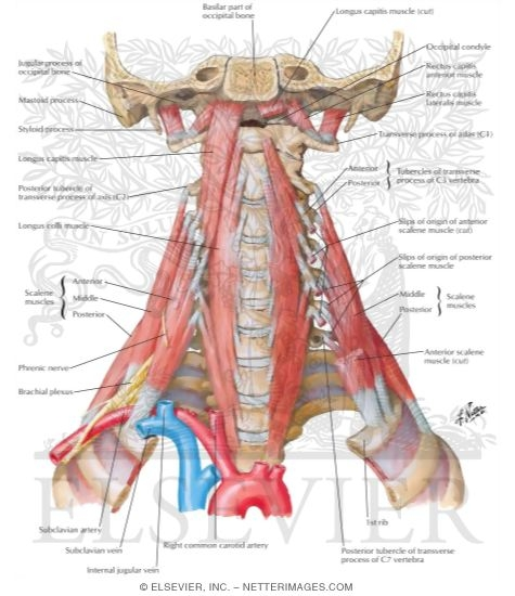 scalene and prevertebral muscles, Human Body