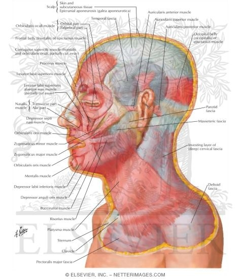 Netter muscles of facial expression anterior