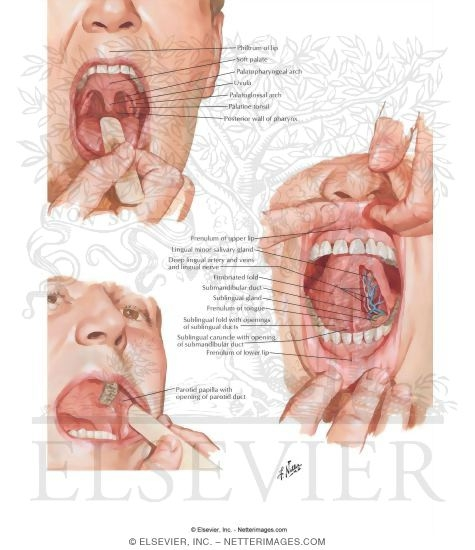 Anatomy of Oral Cavity PDF http://www.netterimages.com/image/4751.htm