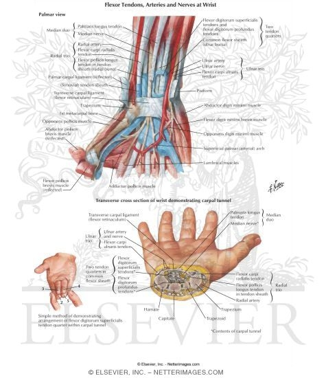Arrangement of Tendons, Vessels, and Nerves at the Wrist Flexor ...