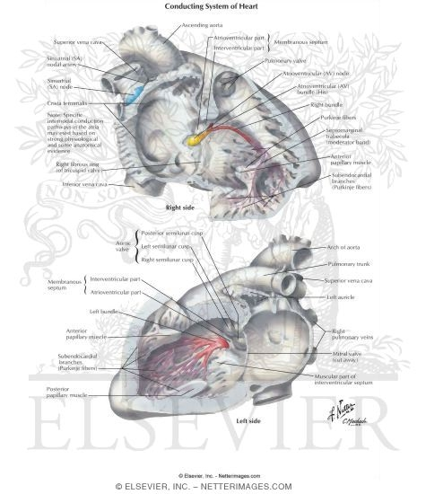 Anatomy Of The Specialized Conduction System Conduction System Of Heart