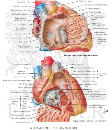 right atrium and right ventricle, Human body