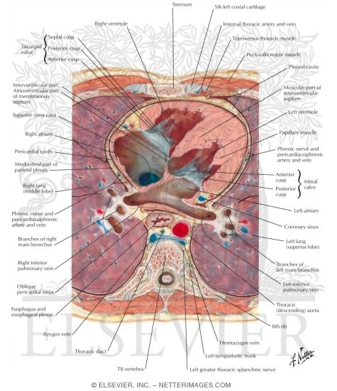 Transverse Section Through Heart and Thorax