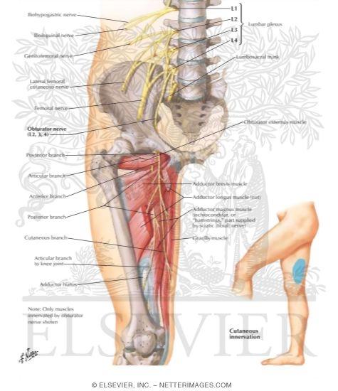 obturator nerve, Muscles