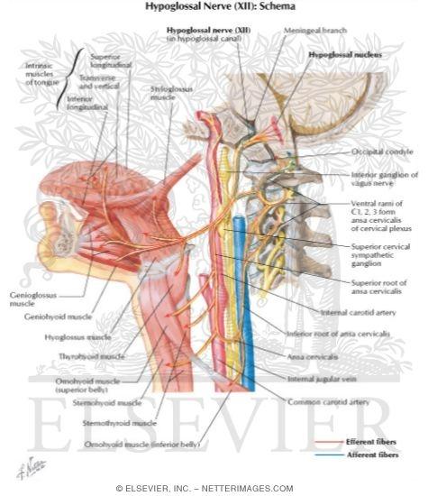 Hypoglossal (XII) Nerve Hypoglossal Nerve (XII) Hypoglossal Nerve ...