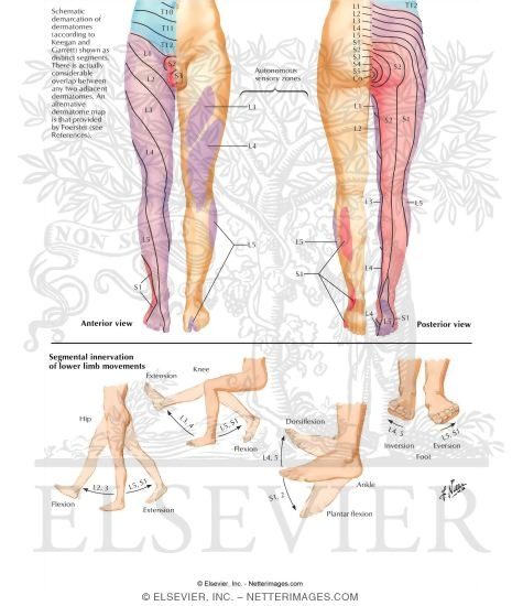 Sensory Innervation Dermatomes Of Lower Limb Dermatomes Of Lower Limb