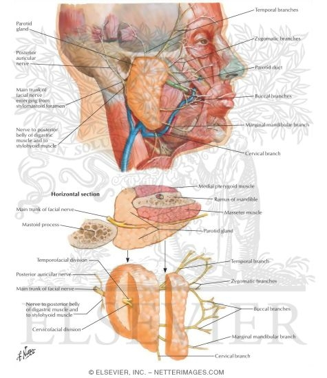 Relations of Parotid Gland and Facial Nerve Facial Nerve Branches ...