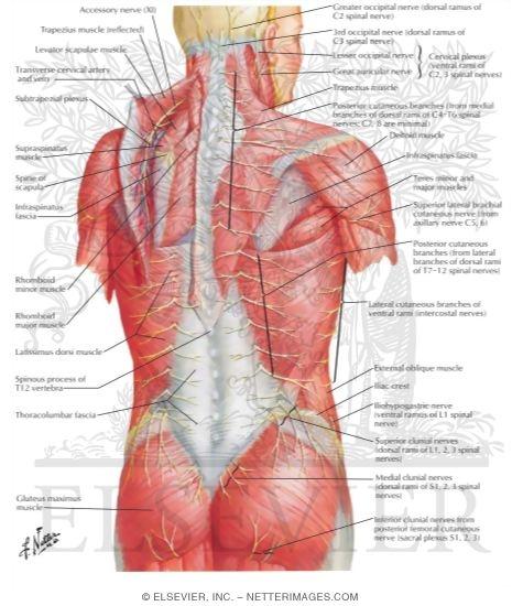 Nerves of Back