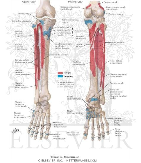 Attachments of Muscles of Leg