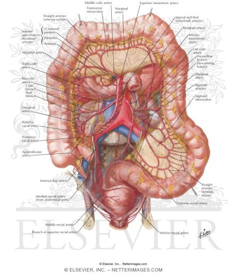 Arteries Of Large Intestine Blood Supply Of Small And Large Intestine