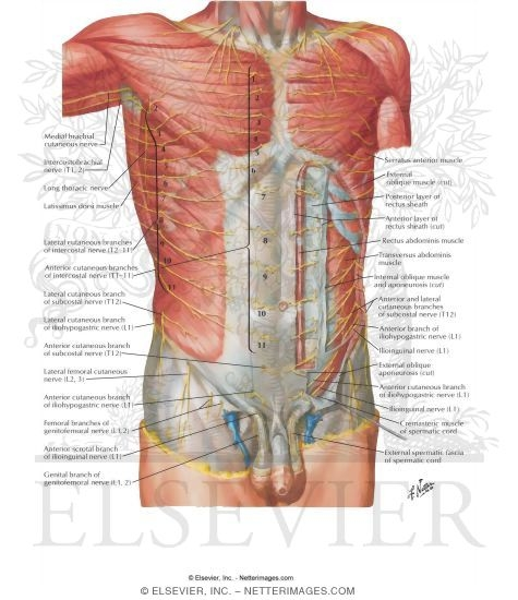Nerves of Anterior Abdominal Wall