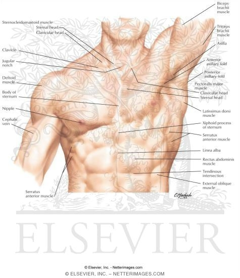 Exelent Surface Anatomy Thorax Pictures - Anatomy And Physiology ...