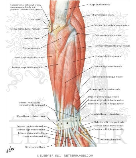 Muscles of Forearm (Superficial Layer): Posterior View