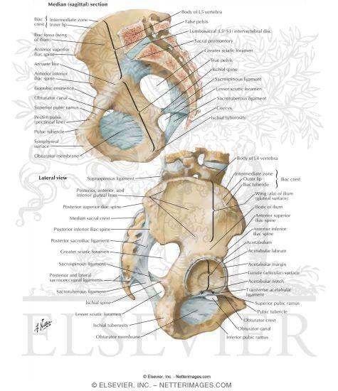 bones and ligaments of pelvis, Human Body