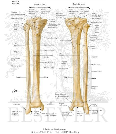 Illustration of Tibia and Fibula from the Netter Collection