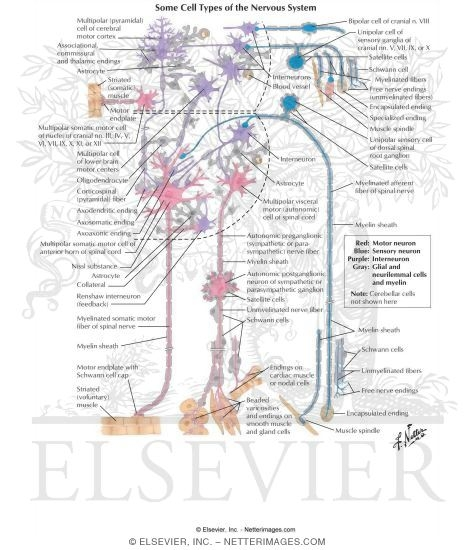 Some Cell Types Of The Nervous System Neuronal Cell Types