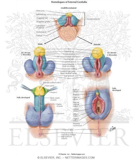 Male external genitalia anatomy - photo#45