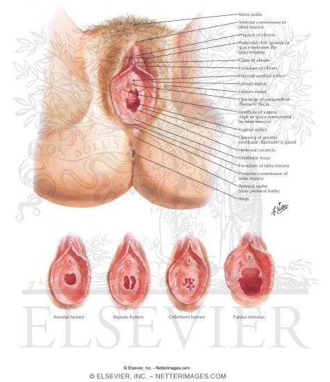 Illustration of External Genitalia Perineum and External Genitalia (Pudendum or Vulva) from the Netter Collection