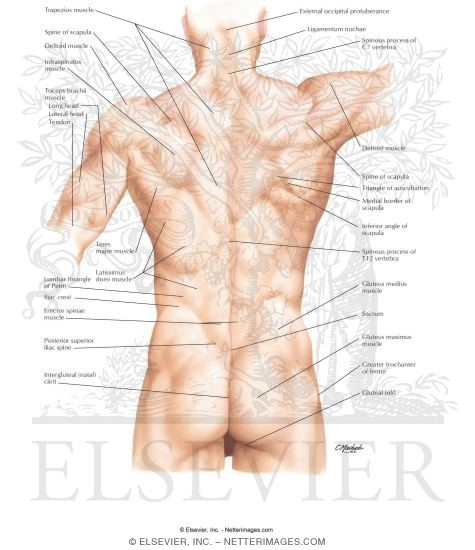 back: surface anatomy, Human Body