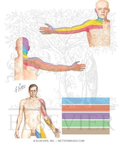 Dermatomes and Myotomes of Upper Limb