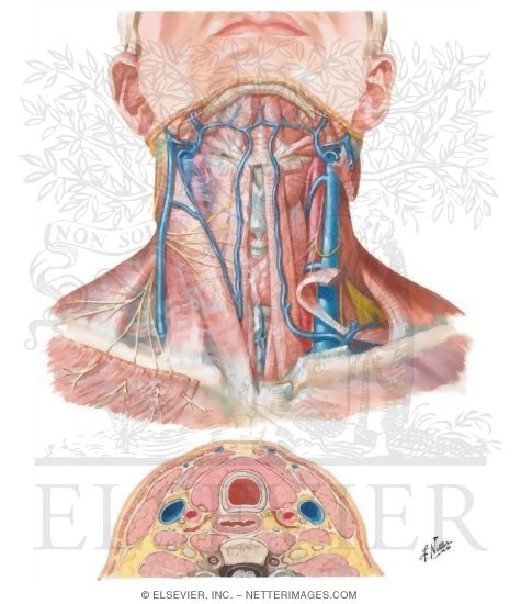 Anatomy Of The Thyroid And Parathyroid Glands Superficial Veins