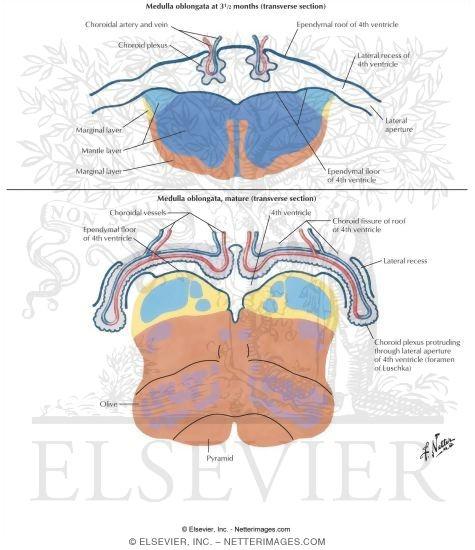 Choroid Plexus Formation