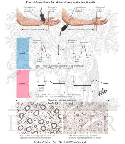 Illustrations In Collection Of Medical Illustrations