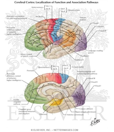 localization of brain function Localization of brain function localization of the brain simply states that specific areas of the physical brain control ones actions or more specifically.