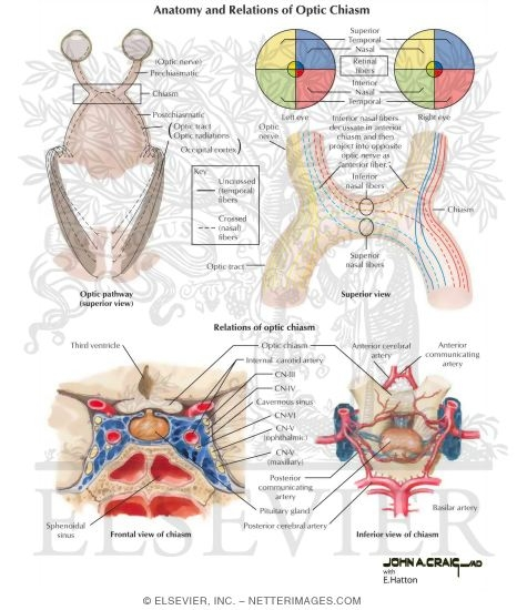 Anatomy And Relations Of Optic Chiasm