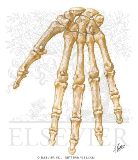 Wrist and Hand: Bones