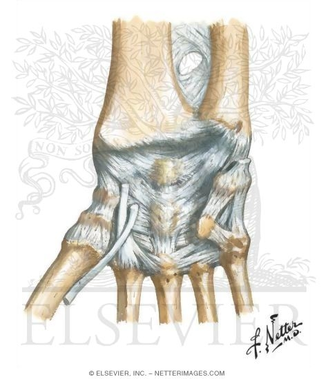 Wrist and Hand: Wrist Joint and Ligaments