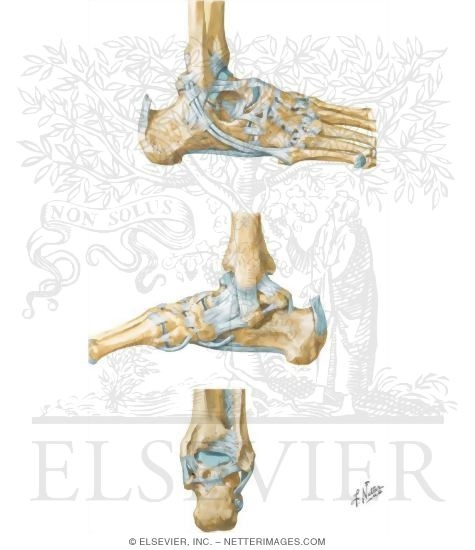 Ankle And Foot Ankle Joints And Ligaments