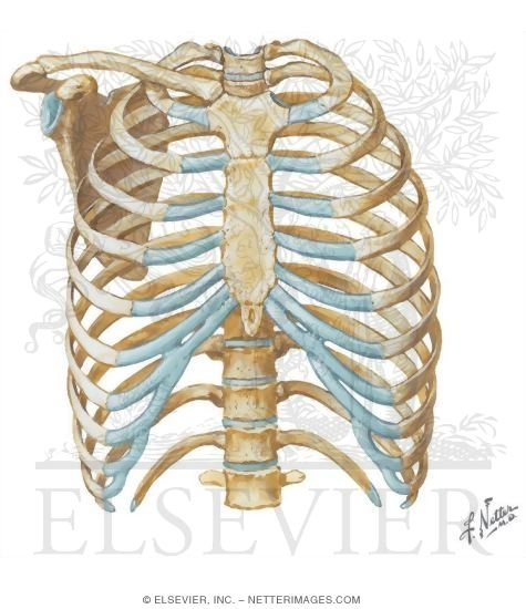 Thoracic Wall: Thoracic Cage (Skeleton)