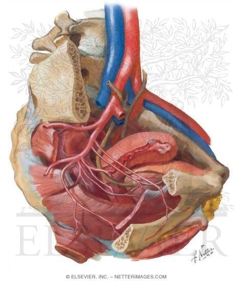 Pelvic Cavity Peritoneal Relationships Of Female Pelvic Viscera