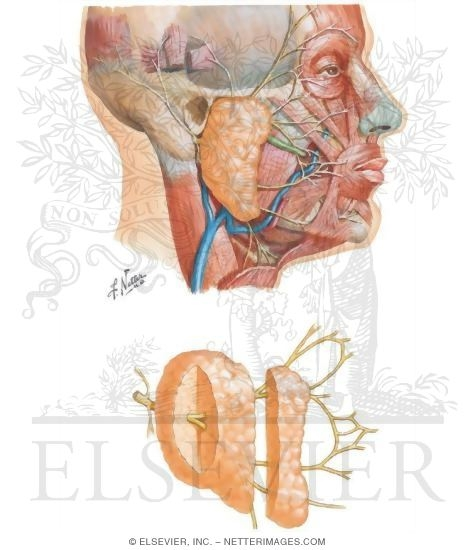 Face And Scalp Parotid Gland And Facial Nerve