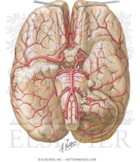 Illustration of Brain: Arterial Supply from the Netter Collection