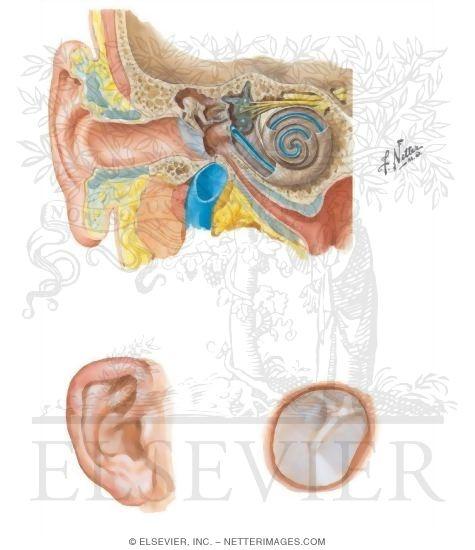 Ear: General Anatomy