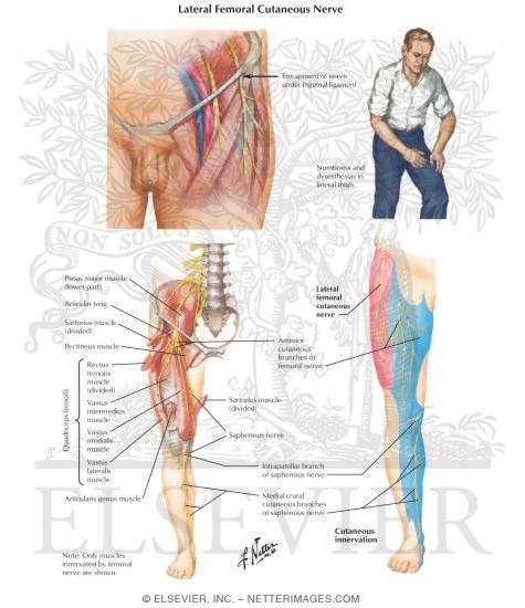 femoral nerve entrapment symptoms – applecool, Muscles