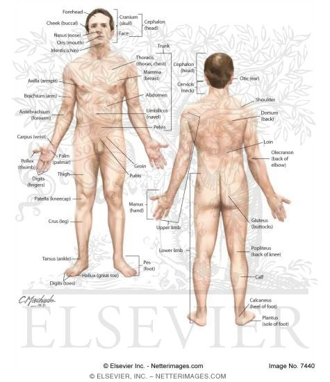 position of the body, Human Body