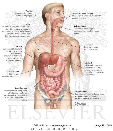 Gastrointestinal System: Organization