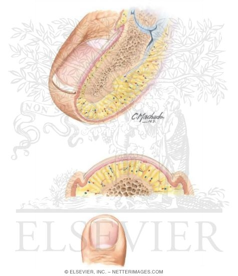 Anatomy of the Toenail