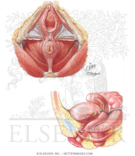 Illustration of Pelvic Floor Muscles from the Netter Collection
