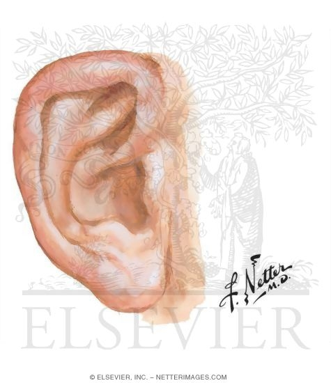 Right Auricle of the Ear