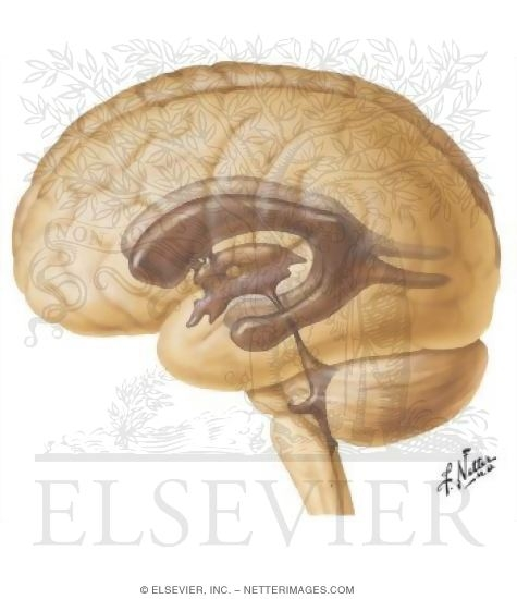 Illustration of Ventricles of Brain from the Netter Collection
