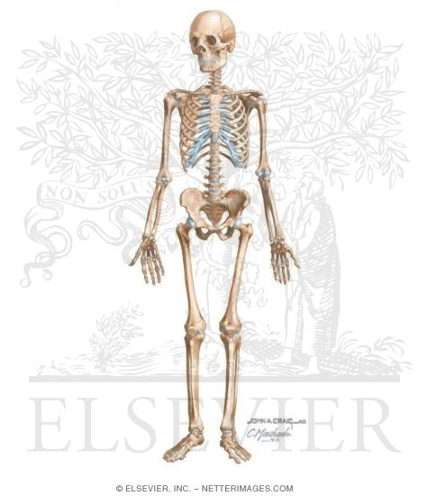Illustration of Skeletal System from the Netter Collection