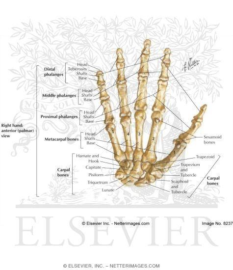 And Hand Bones