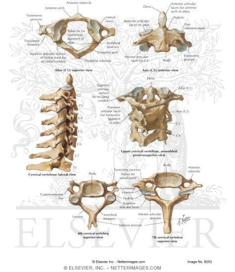 vertebrae, Skeleton