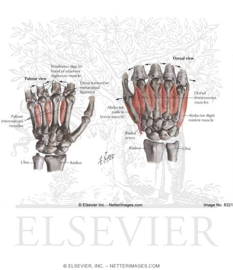 Intrinsic Muscles of Hand http://www.netterimages.com/image/8321.htm