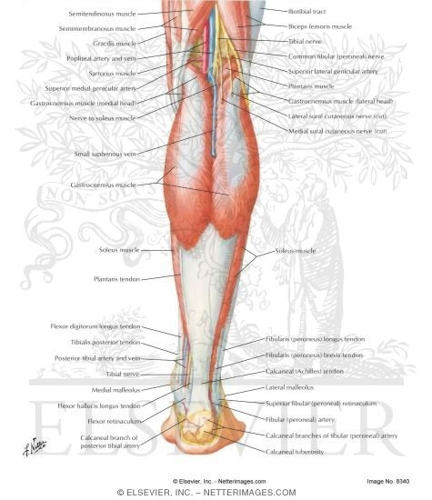muscles of leg. Muscles of Leg (Superficial