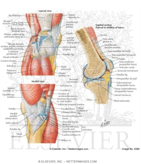Welcome to netter images medial and lateral views of the knee ccuart Gallery